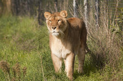 Lioness stalking. Prey with a concentrated look Stock Photo