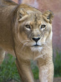 Lioness Stalking. Front view of lioness stalking prey royalty free stock photos
