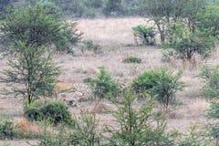 Lioness stalking her pray. In Pilanesberg Natioanal Park stock photography
