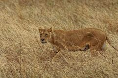 Lioness. Stalking her prey in Africa Royalty Free Stock Photos