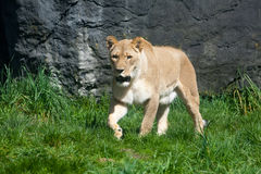 Lioness Stalking Prey. Lioness prowling through the grass on the hunt looking for prey Royalty Free Stock Image