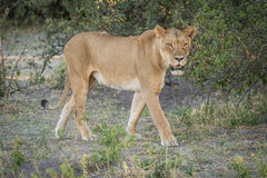 Lioness stalking prey in shade of bush Stock Photo