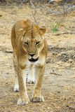 Lioness stalking in the Selous reserve Stock Image