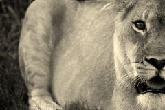 A lioness stalks her prey Royalty Free Stock Photo