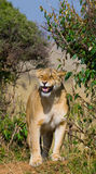 Lioness standing in the bushes. Savannah. National Park. Kenya. Tanzania. Masai Mara. Serengeti. Stock Images