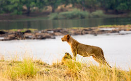Lioness standing on the edge of Zambezi River Stock Images