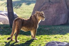 A lioness standing on the grass royalty free stock photos