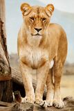 Lioness standing on log
