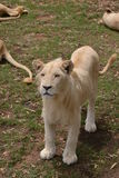 Lioness standing. Mixed colour lioness standing on grass, South Africa Stock Photography