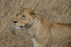 Lioness stands tall in the wilderness of the Ngorongoro Crater in Tanzania. royalty free stock images