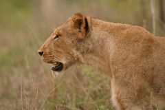 Lioness stare Royalty Free Stock Images