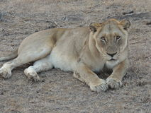 Lioness stares at you Royalty Free Stock Photography