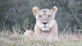 Lioness staring in Africa. On Gondwana Game Reserve in the Western Cape, South Africa Royalty Free Stock Photo