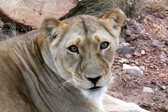 Lioness staring into camera Stock Photography