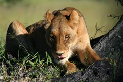 Lioness staring intentively, Okavango Royalty Free Stock Photography