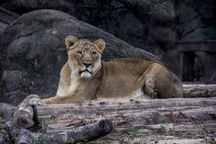 Lioness staring and sitting on a rock. Lioness gazing calmly into the horizon sitting on a rock between tree trunks Stock Image