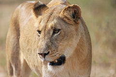 Lioness staring Stock Photo