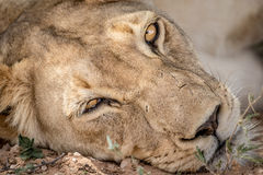 Lioness starring at the camera. Stock Photography