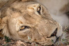 Lioness starring at the camera. Royalty Free Stock Photo