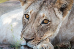 Lioness starring at the camera. Stock Photo