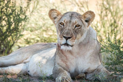 Lioness starring at the camera. Royalty Free Stock Photography