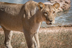Lioness starring at the camera. Stock Images