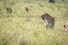 Lioness starring in the grass. Stock Photos