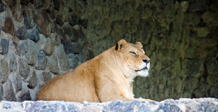 Lioness on stony prominence Royalty Free Stock Photos