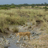 Lioness in stream, Serengeti National Park Stock Image