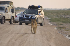 Lioness. On the street in the Etosha national park Stock Photo