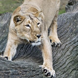 Lioness stretching its body Stock Images