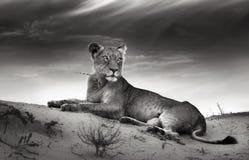 Lioness sulla duna del deserto Fotografia Stock Libera da Diritti