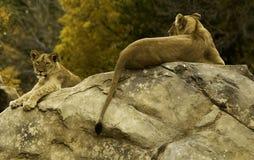 Lioness sulla roccia Fotografie Stock Libere da Diritti