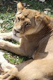Lioness in sun. Lioness looking up while resting in the sun Stock Photography