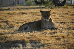 Lioness sunning in South Africa. Lioness with her eyes closed sunning herself the in South African sun stock images