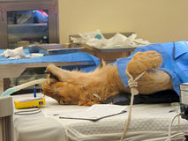 Lioness Surgery. A lioness on the operating table, having surgery Royalty Free Stock Photos