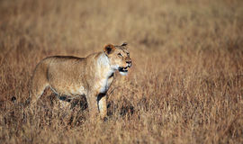 Lioness surveying the Mara. A lioness checks out a distant herd of Wildbeest. During the migration, its like a big buffet for the lions Stock Images