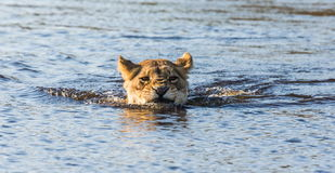 Lioness is swimming through the swamp. Okavango Delta. Royalty Free Stock Photography
