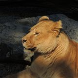 Lioness resting on the rocks at the zoo. Lioness takes a break during the day at the zoo Stock Photos