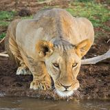 Thirsty Lioness. A lioness takes a moment from quenching her thirst to stare down an intruder Stock Photography