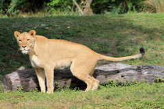 Lioness nature calls. Lioness taking care of her necessities while looking at camera at local zoo Stock Image