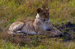 Lioness. Taking a rest during daytime Stock Photos