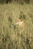 Lioness in tall grasses, Serengeti, Tanzania Stock Images
