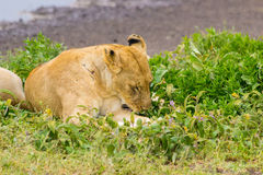 Lioness in Tanzania. Lioness Relaxing by a waterhole in the Serengeti Royalty Free Stock Photo