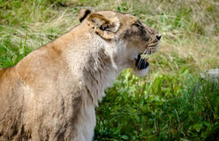 Lioness. A lioness tasting the air Stock Photography
