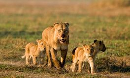 Lioness with three cubs. Stock Photos