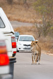 Lioness transports her cub Royalty Free Stock Photography
