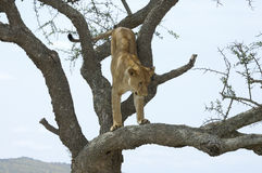 Lioness on tree Royalty Free Stock Photo