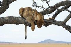 Lioness on a tree. Serengeti National Park. Tanzania royalty free stock image
