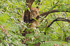 Lioness in tree. A lioness climbing a tree Stock Image